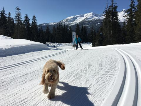 Dog and cross country skier
